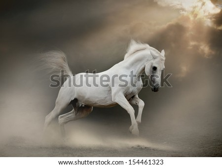 white arabian stallion in dust - stock photo