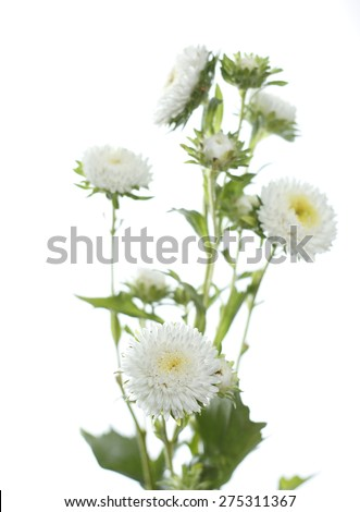 white aster flowers against white background - stock photo