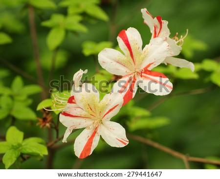 White azaleas with red stripes - stock photo