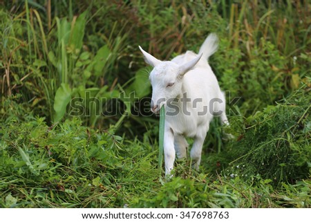 White baby goat against green grass on meadow - stock photo