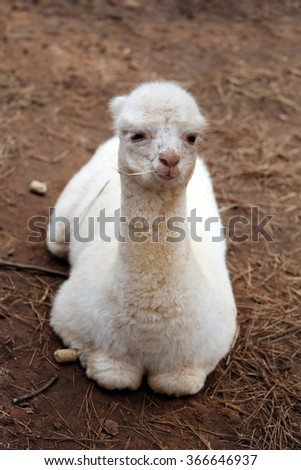 White baby llama lies on brown ground and chews straw in national safari park - stock photo
