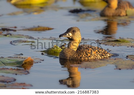 White backed Duck (Thalassornis leuconotus) on a natural lily covered pond with reflection, with blurred natural foreground and background, South Africa - stock photo