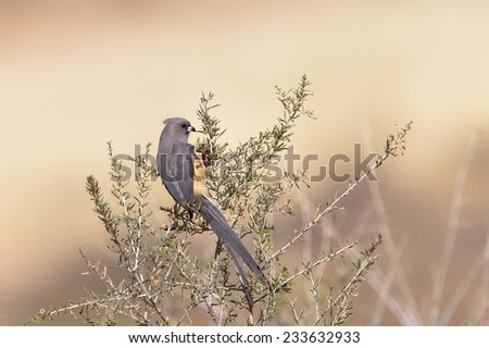 White backed Mousebird (Colius colius) perched in bush feeding on seeds, against a blurred natural background, Kalahari desert, South Africa - stock photo