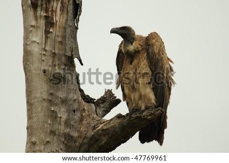 White Backed Vulture - stock photo