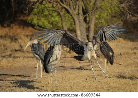 White-backed Vulture flying in Kruger National park, South Africa - stock photo