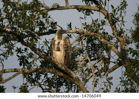 White-backed Vulture in a Tree - stock photo