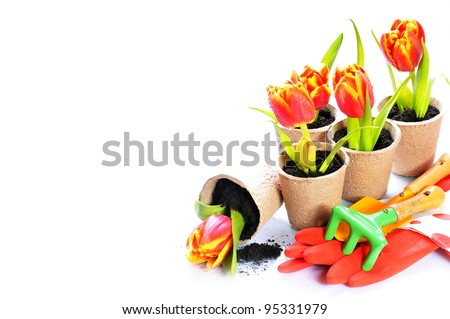 White background with tulip  in the papers pots and garden tools - stock photo