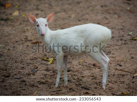 white barking deer in zoo. - stock photo