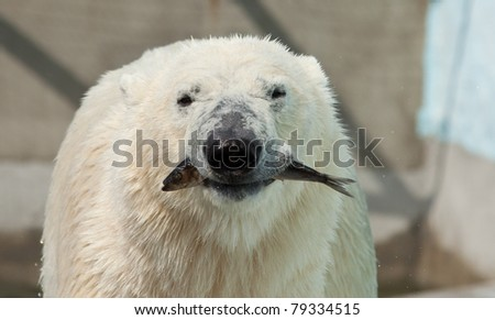 white bear hold fish in jaws - stock photo