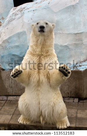 White bear standing on back paws - stock photo