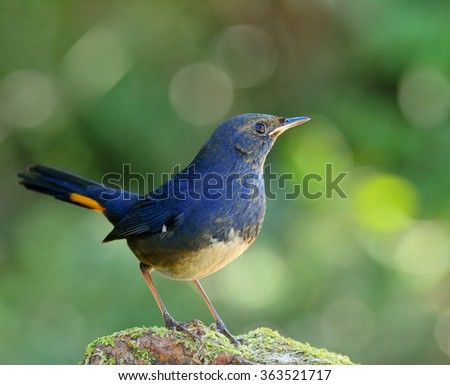white-bellied redstart (Hodgsonius phaenicuroides) the beautiful blue bird standing on the green mossy rock showing side profile feathers and details with green and bokeh background - stock photo