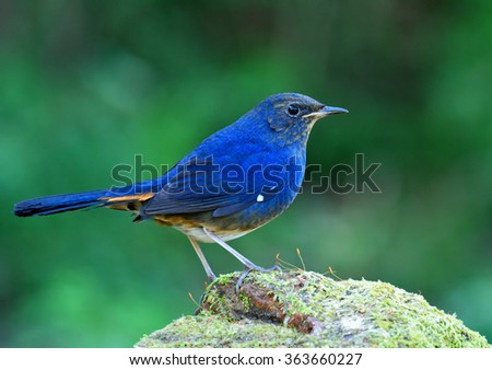 white-bellied redstart (Hodgsonius phaenicuroides) the beautiful blue bird standing on the mossy rock with nice blur green background - stock photo