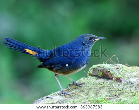 white-bellied redstart (Hodgsonius phaenicuroides) the beautiful blue bird standing on the mossy rock showing its fine tail with yellow marking on blur green background - stock photo