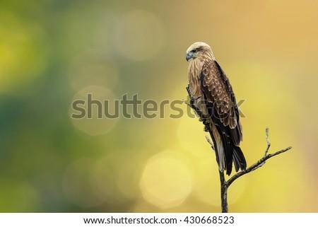 White-bellied Sea-eagle, White-bellied Fish-eagle, White-breasted Sea Eagle - stock photo