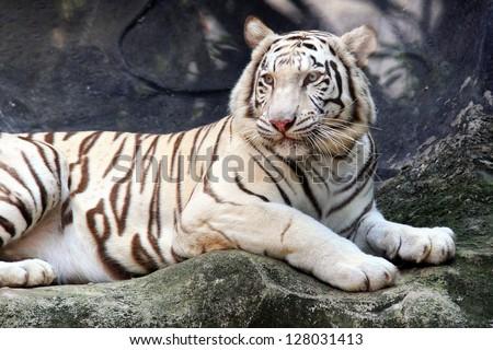 White Bengal Tiger - stock photo