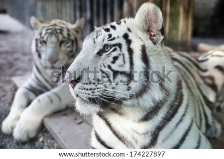 White Bengal Tiger. - stock photo