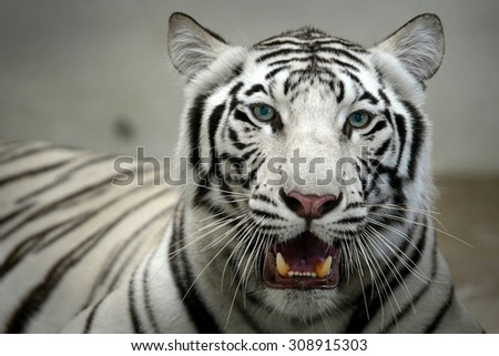 White Bengal Tiger head looking direct to camera  - stock photo