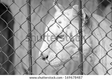 White bengal tiger in cage- Black and white - stock photo
