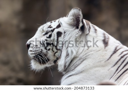 White Bengal tiger in profile. Close-up portrait - stock photo