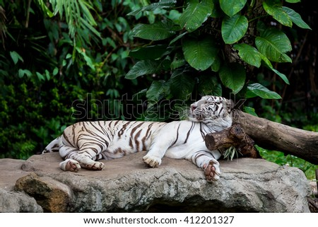 White Bengal tiger sleeping on the rock which his head put on the wood which surround by tropical green tree - stock photo