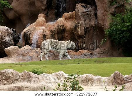 White Bengal Tiger - Tenerife, Spain - stock photo