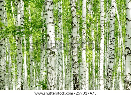 White birch trees in the forest in summer - stock photo