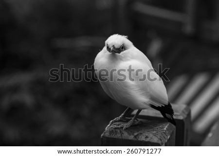 White Bird - Bail Mynah in Black and White - stock photo