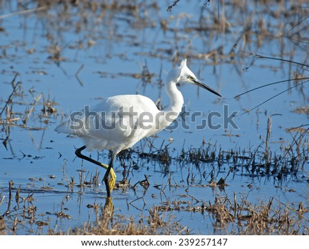 White bird, Little Egret (Egretta garzetta)  in the National park of the Delta del Ebro,catalonia,Spain - stock photo