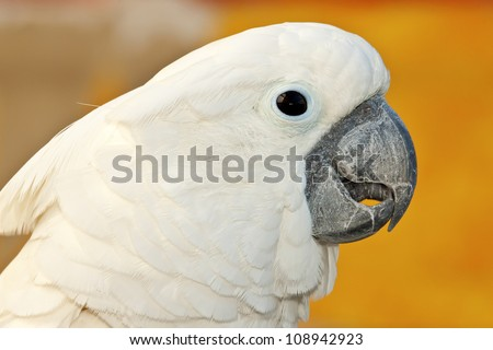 white bird parrot cockatoo head profile  portrait - stock photo