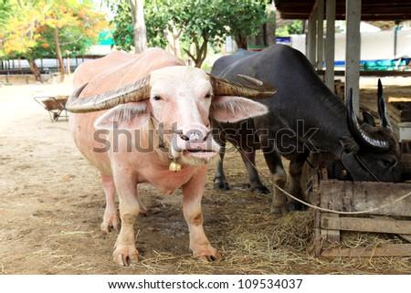white & Black buffalo in Thailand - stock photo
