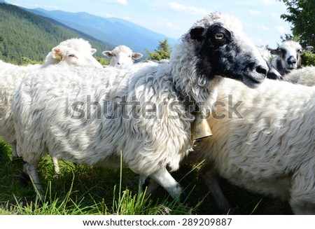 White-black cute sheep with bell on necks against the backdrop of the mountains - stock photo