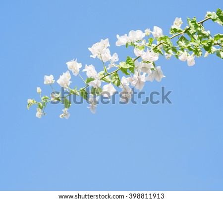 White blooming bougainvilleas against the light  blue sky. - stock photo