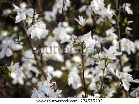 White blooming magnolia tree in the garden springtime. Blooming white magnolia flowers. Tulip tree - stock photo