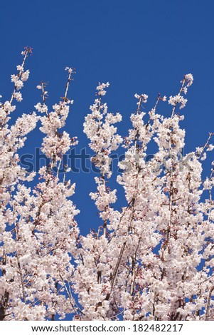 White blossom on a tree against a vibrant blue sky - stock photo