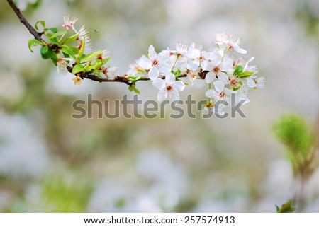 White blossoms of an apple tree in spring - stock photo