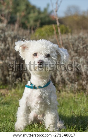 White Bolognese dog is sitting on the lawn outdoors and looking to the camera. - stock photo