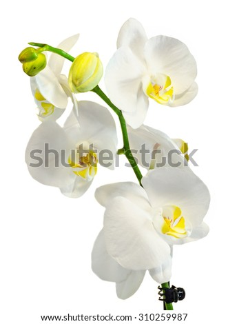 White branch orchid  flowers, Orchidaceae, Phalaenopsis known as the Moth Orchid, abbreviated Phal. White background. - stock photo