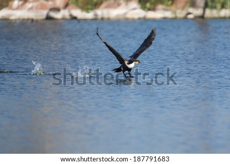 White breasted cormorant take off from dam to hunt for fish - stock photo