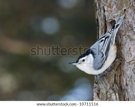 White breasted nuthatch - stock photo