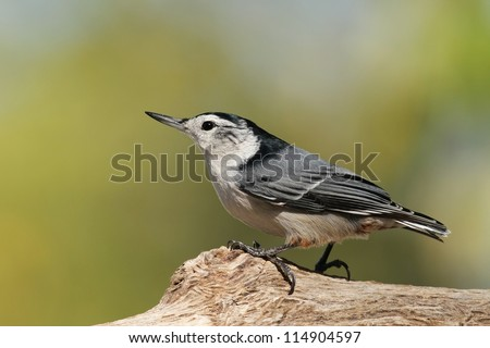 White Breasted Nuthatch resting on a tree limb - stock photo