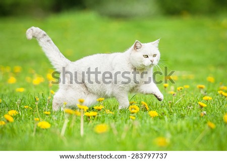 White british shorthair cat running on the field with dandelions - stock photo
