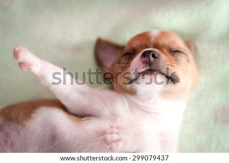 White brown chihuahua puppy is sleeping on mattress - stock photo