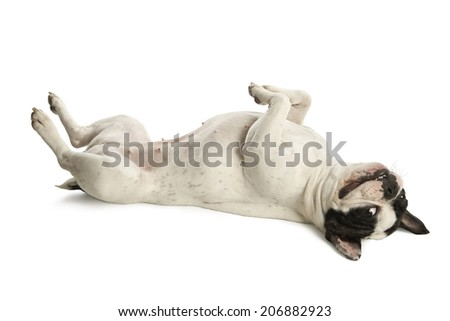 White bulldog lying on the white floor - stock photo
