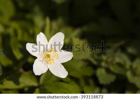 White buttercup plant with flowers in its natural habitat - stock photo