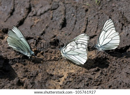 White butterflies drink of the water on the wet ground - stock photo