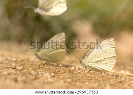 white butterflies sitting on the ground - stock photo