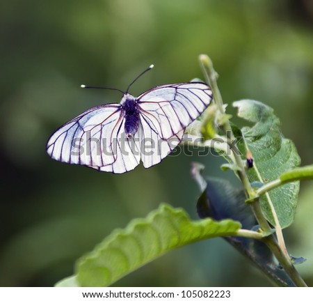 White butterfly on a green leaf, Russia - stock photo