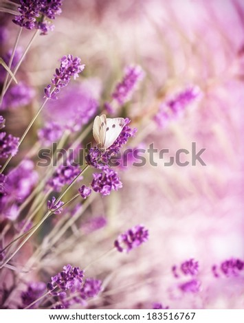 White butterfly on beautiful lavender - stock photo