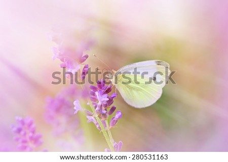 White butterfly on lavender - stock photo