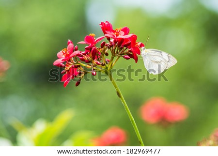 white butterfly on red flowers in garden - stock photo